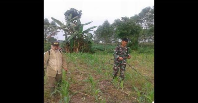 Serda J. Sihombing Lakukan Penyemprotan Tanaman Jagung di Desa Sukarende
