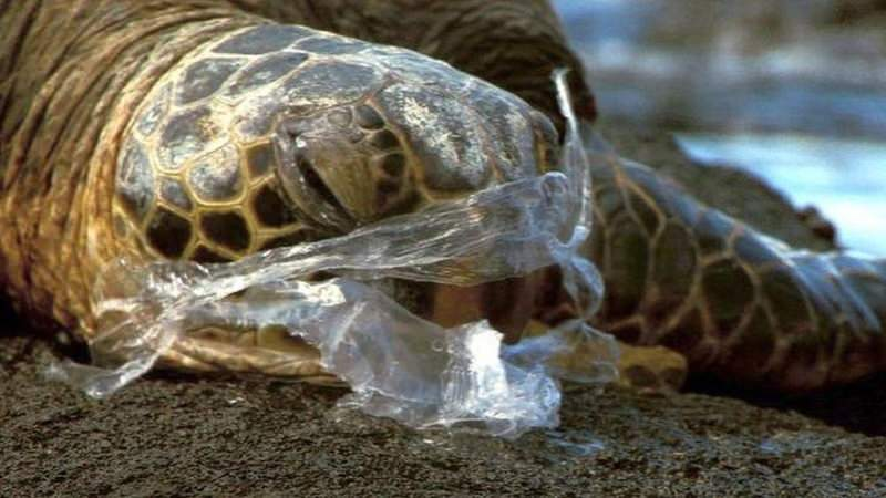 Tartaruga com plástico no nariz