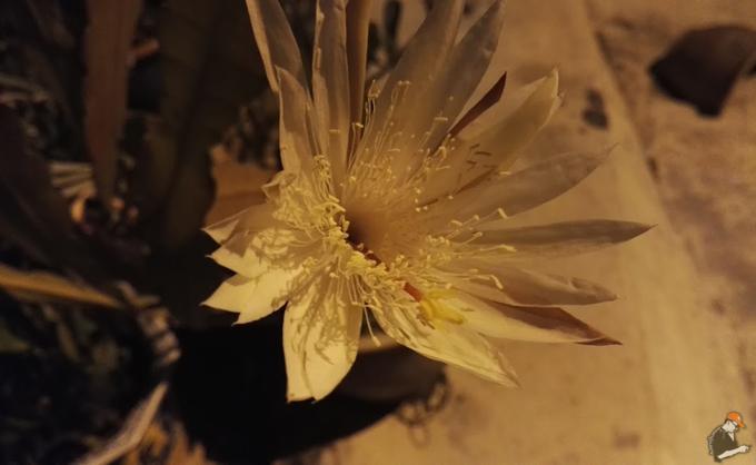 Khasiat dan Kisah Mistik Bunga Bakawali