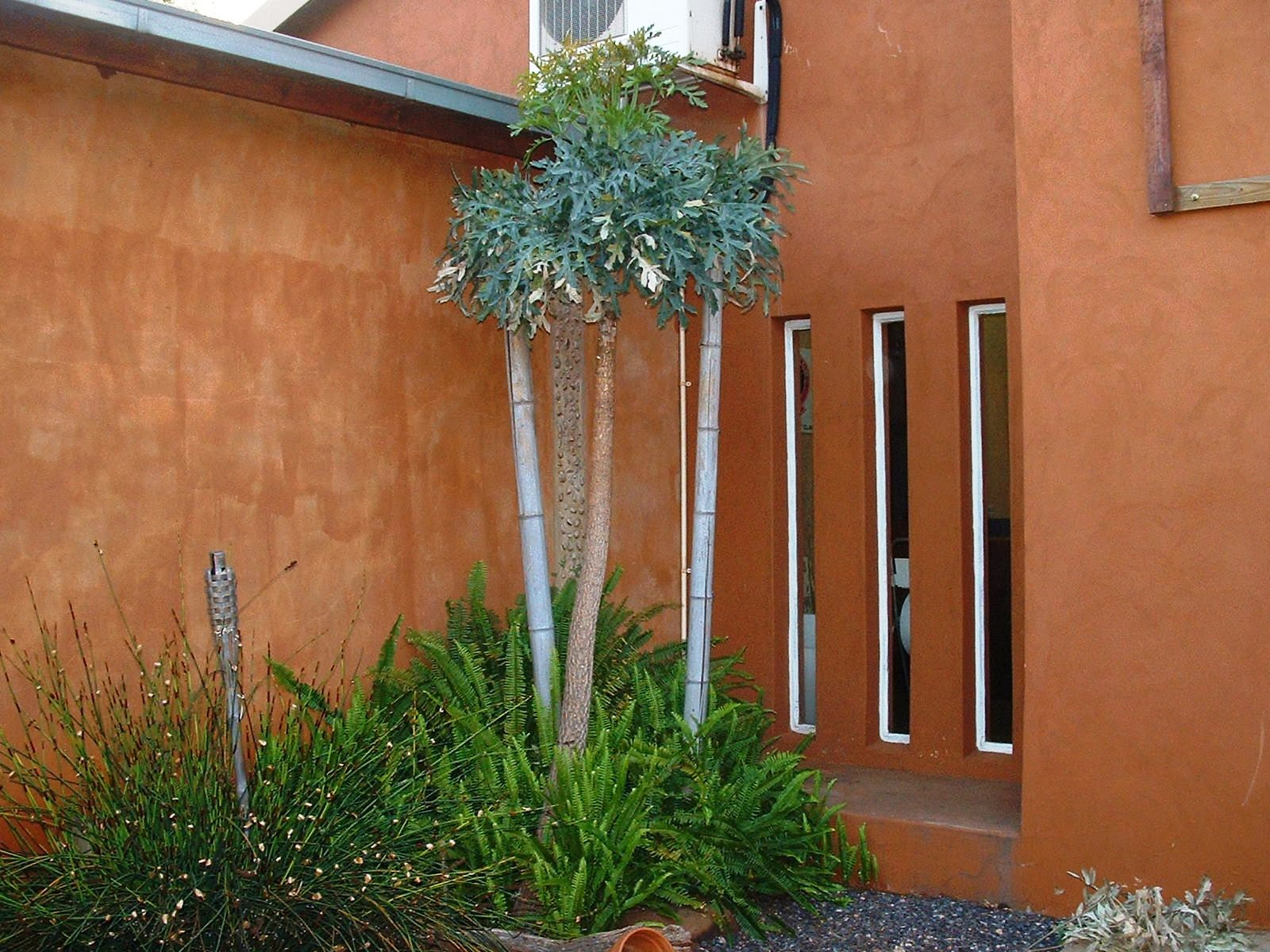 Unthinkable House Plant Tree. 2006 Gardening in Africa  Kiepersol Cabbage Tree Cussonia paniculata