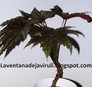 begonia-pegasus