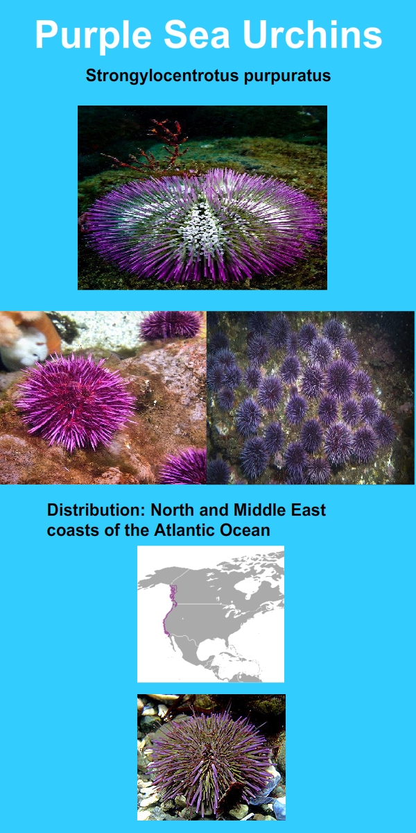 purple sea urchin infographics