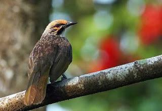 Burung Cucak Rowo - Mengenal Lebih Dekat Burung Cucak Rowo - Penangkaran Burung Cucak Rowo