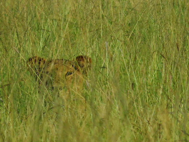 Lion in the grass in Uganda's Queen Elizabeth National Park
