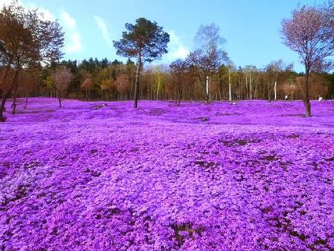 Shibazakura virágok, Takinoue Park, Japán