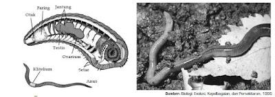 Klasifikasi Kingdom Animalia dari Filum Annelida Kelas Polychaeta, Kelas Oligochaeta dan Kelas Hirudinea