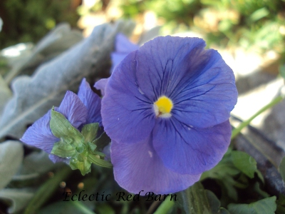 Blue pansy with yellow center