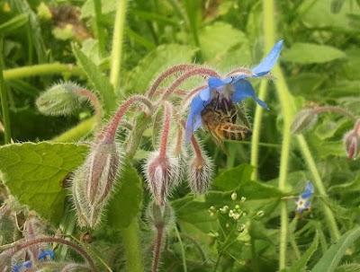honingbij bijenwaskaarsen