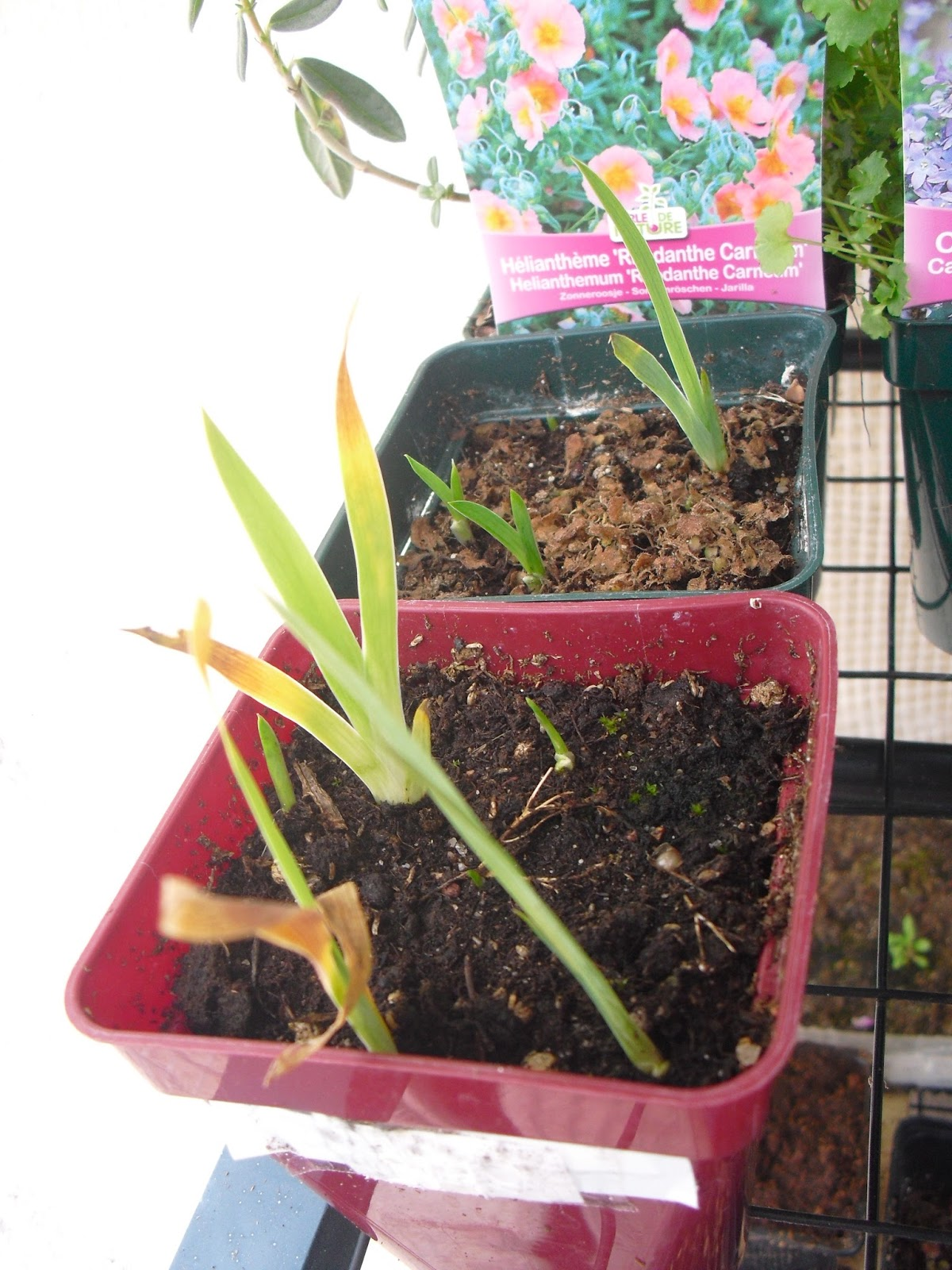mon petit jardin en sologne les semis fin mars. Black Bedroom Furniture Sets. Home Design Ideas