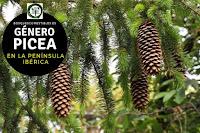 El género Picea son arboles perennifolios de gran talla que puede alcanzar hasta 50 o 60 m. de altura, erguidos y de porte cónico