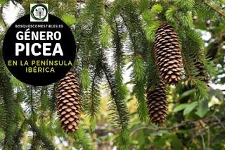 El género Picea son arboles perennifolios de gran talla que puede alcanzar hasta 50 o 60 m. de altura