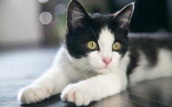 Wallpaper: Beautiful Cat Portrait