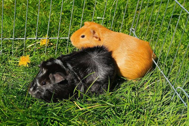 Leuke cavia foto met een zwarte en ene bruine cavia in een traliekooi buiten in het hoge gras