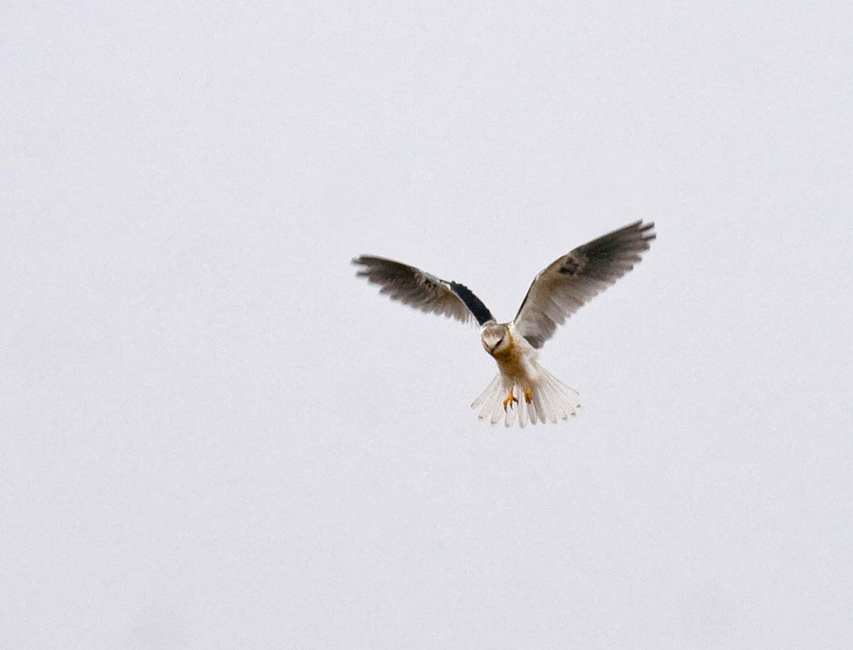 White Tailed Kite Hovering