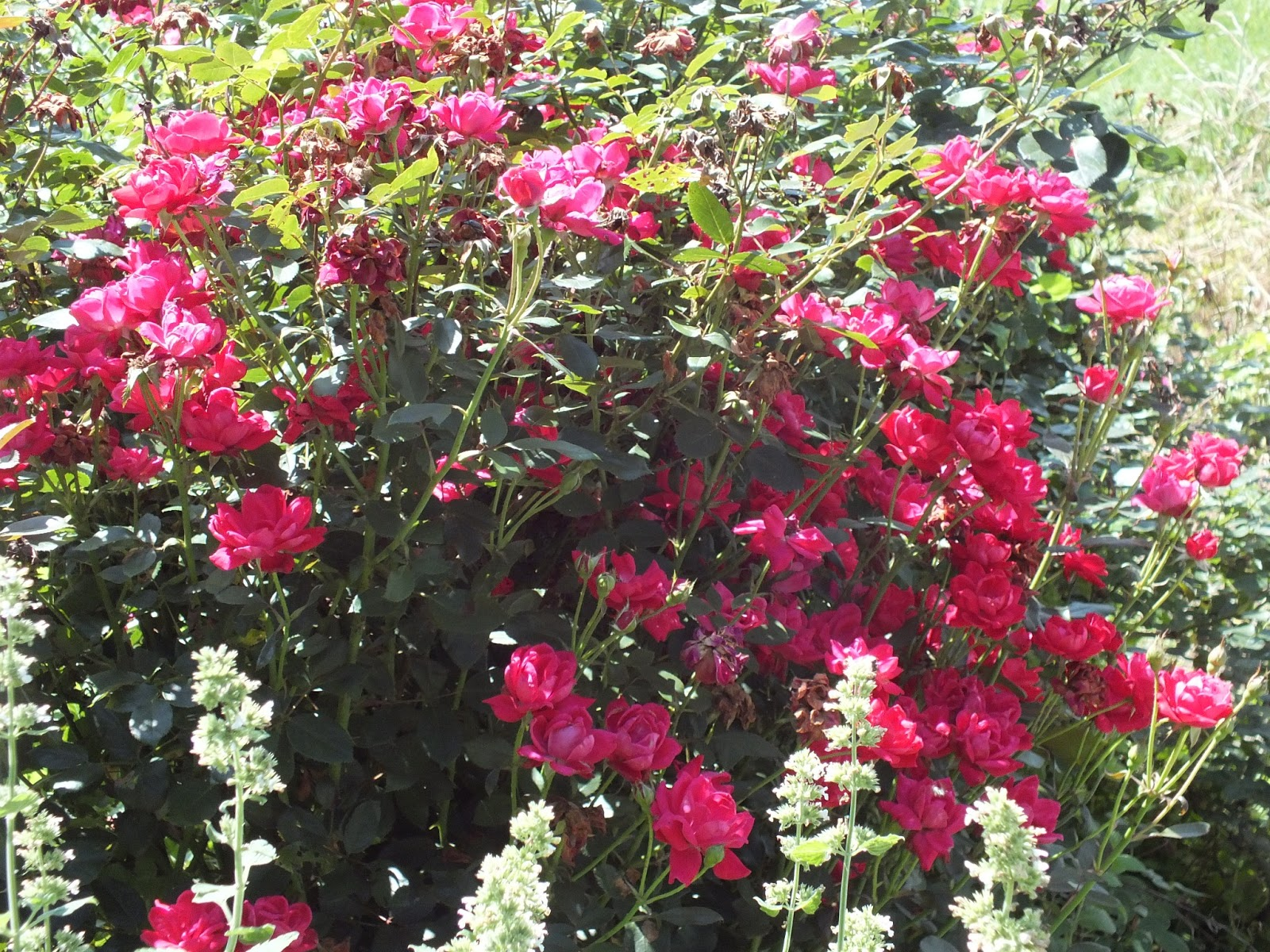 Roses In Garden: Morning's Minion: Summer Storms