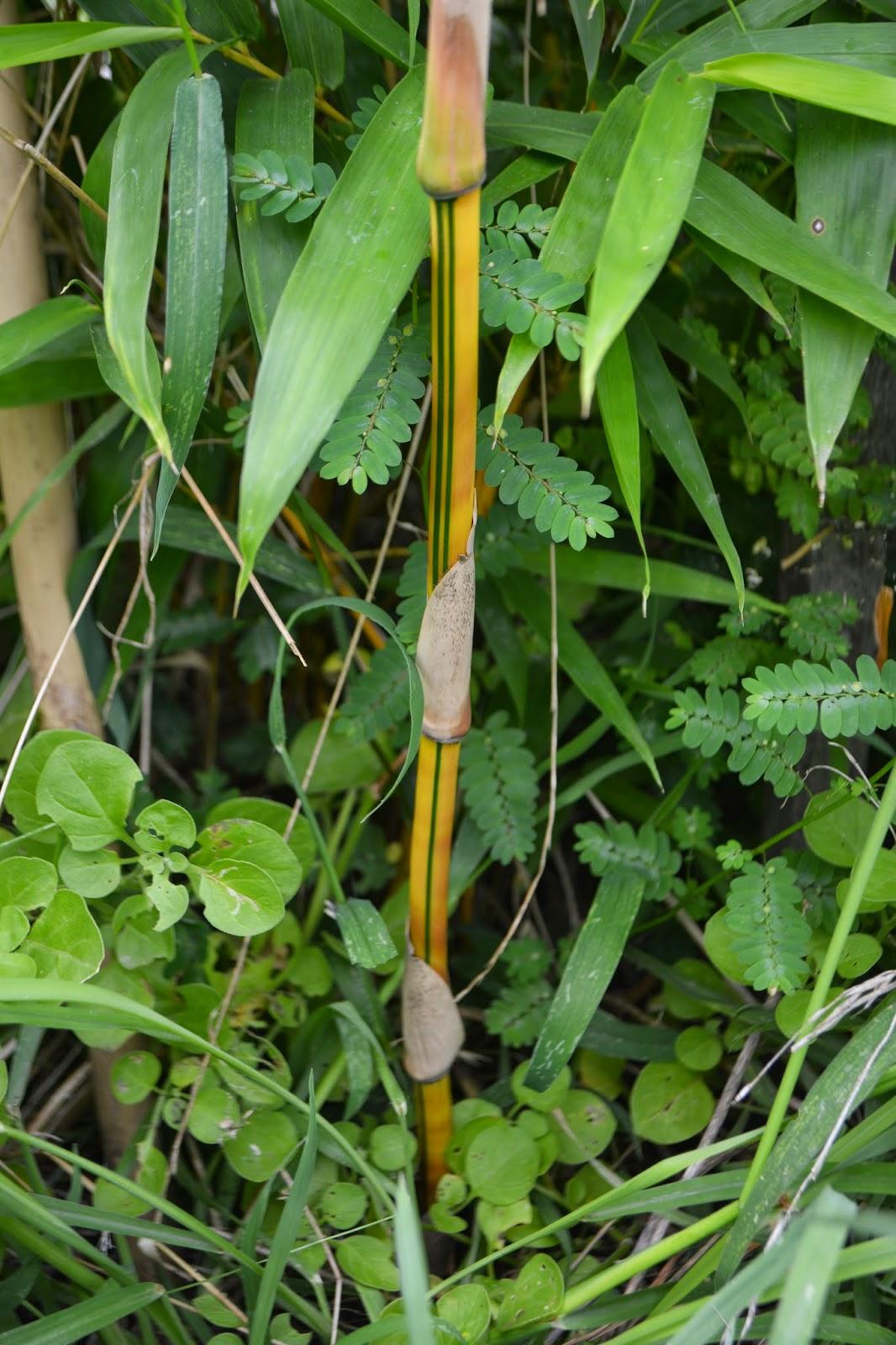 Bambusa Vulgaris Vittata- nace amarilla y con franjas verdes