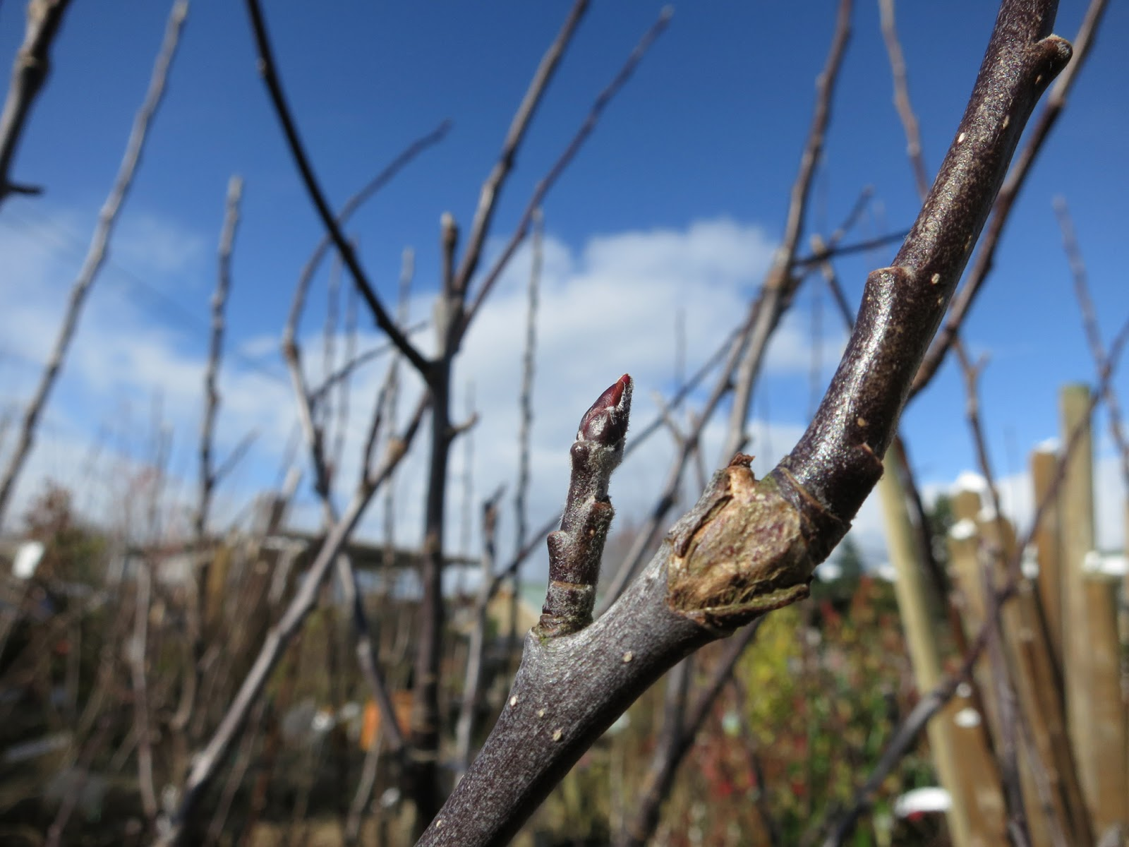 Apple tree bud (Spartan) in garden centre