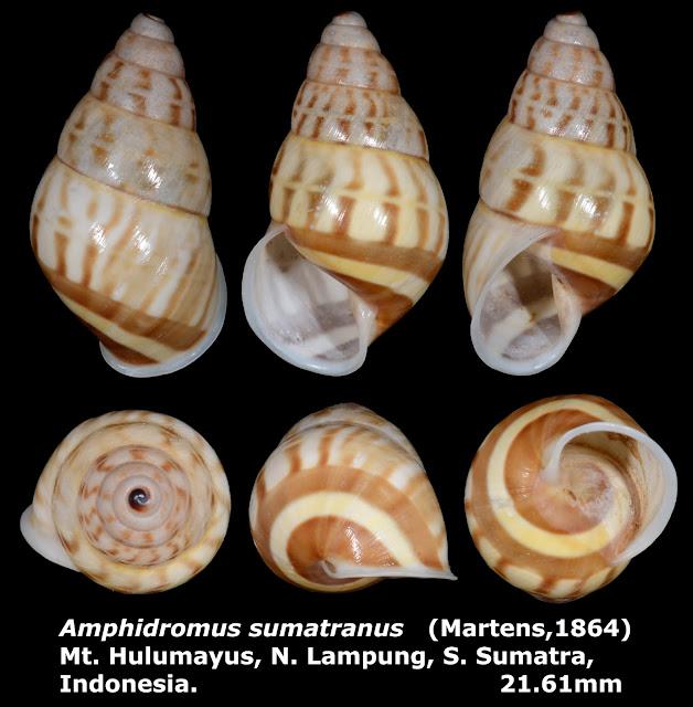 Amphidromus sumatranus 21.61mm