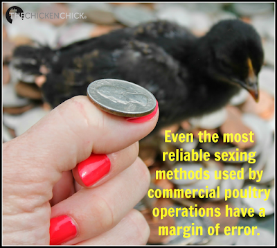 Even the most reliable sexing methods used by commercial poultry operations have a margin of error.