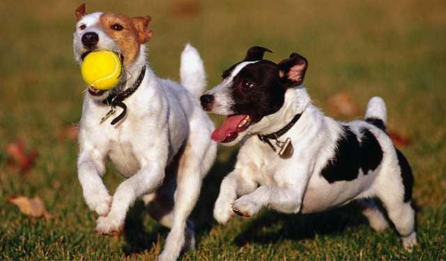 Perros juguetones