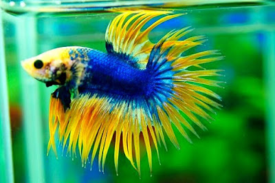 Ikan Laga - Fighting Fish @ Betta Splendens