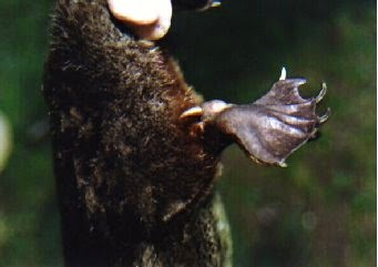Image showing the venom-delivering spur in a male platypus