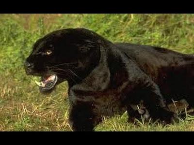 Berita Misteri - Kucing Bodmin Moor
