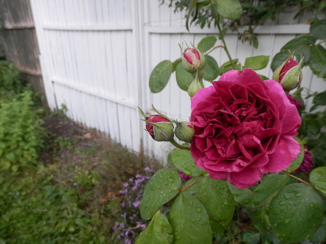 Diary of a suburban edible garden, May 2017. By UK suburban permaculture garden blogger secondhandsusie.blogspot.com #gardenblog #ukgardenblogger #permaculture #permacultureuk #organicgarden #ediblegarden