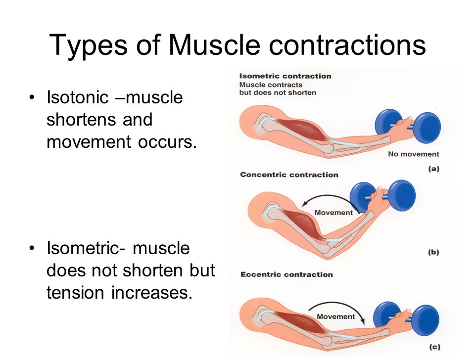 Muscle Contraction 3