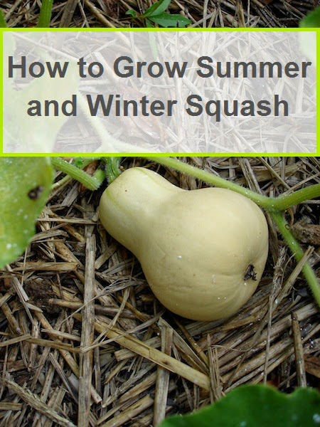 Gardening How To Grow Summer And Winter Squash My