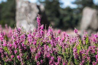 https://pixabay.com/pl/wrzos-heide-erika-kwiaty-1659200/