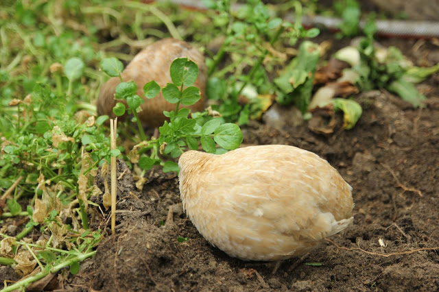 Watercress as a forage and medicinal for quail