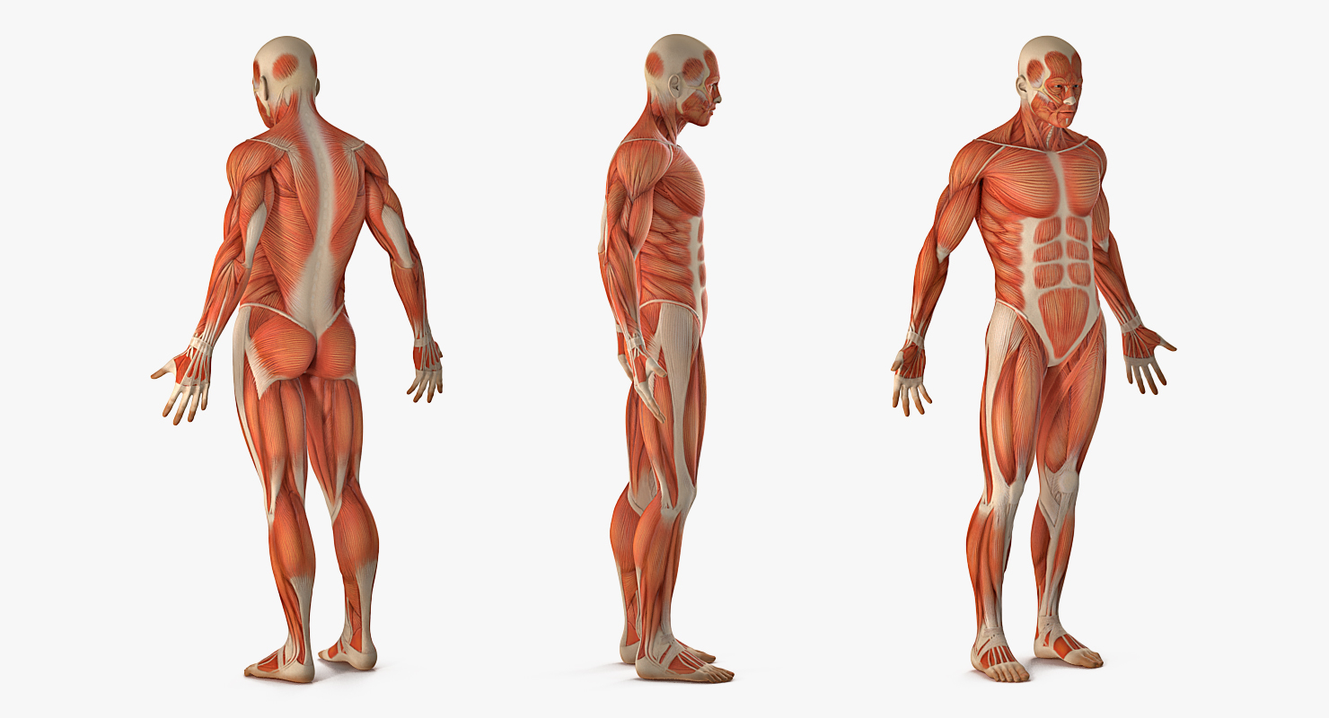 Male Anatomy Muscular System 3d Model 3d Models For Professionals