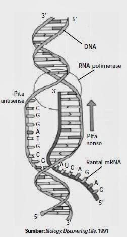 Penjelasan tentang mekanisme sintesis protein biologi indonesia proses pembentukan mrna atau transkripsi ccuart Image collections