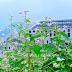 Lễ hội hoa Tam giác mạch tôn vinh loài hoa đặc trưng của núi rừng Tây Bắc