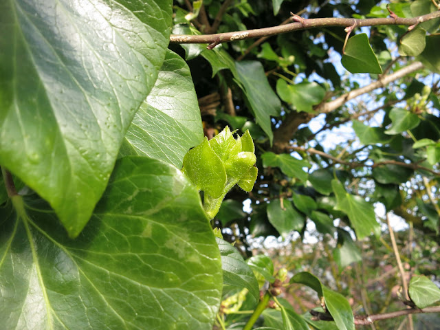 New Ivy Leaves