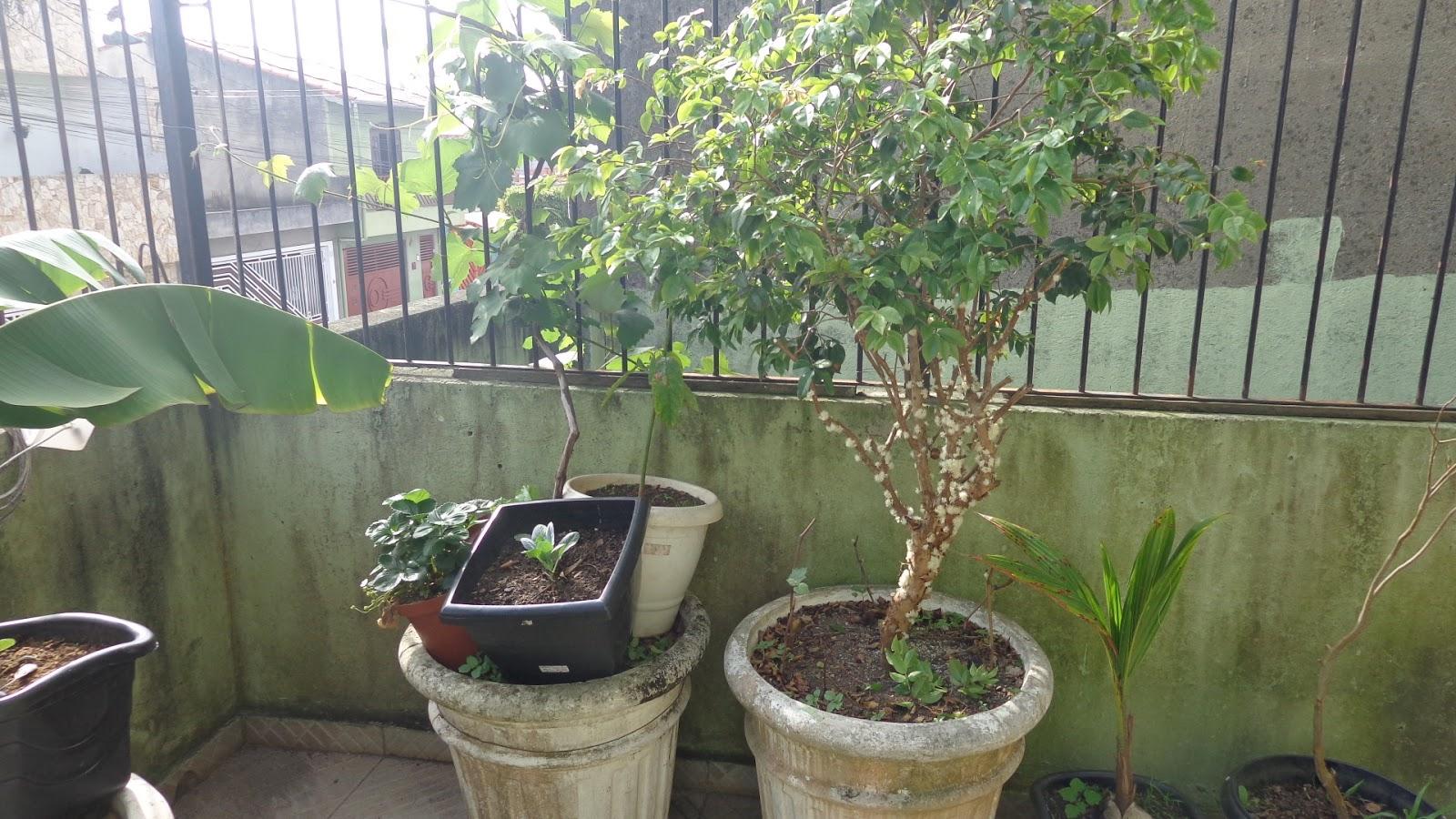 Super Pomar e Horta em Vasos: Como cuidar de sua Jabuticabeira em vasos! SQ73