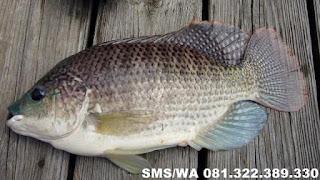 Essen Aroma Sereh Untuk Ikan Nila Indukan