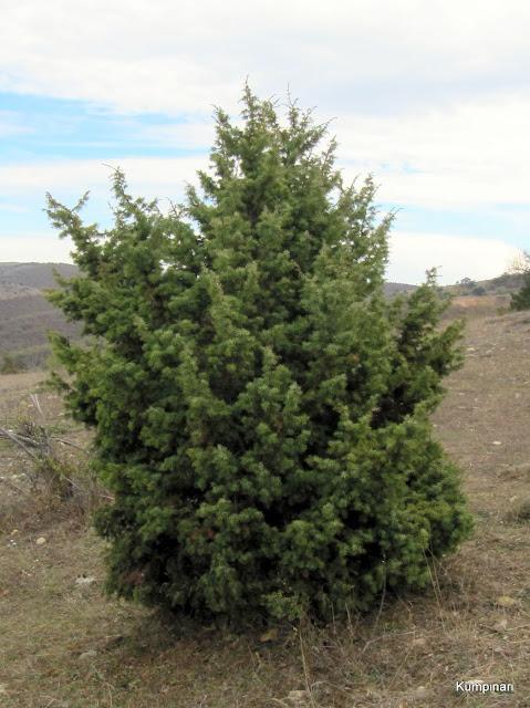 Ardıç Katranı Ağacı