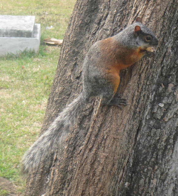 Mexican Red-bellied Squirrel (Sciurus aureogaster)