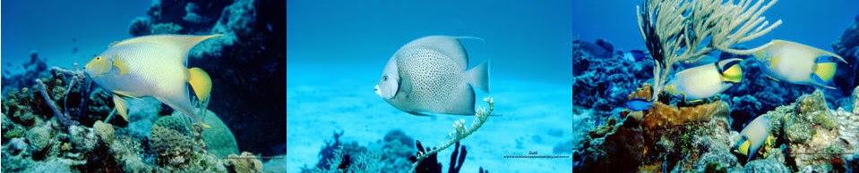 http://diversidadyunpocodetodo.blogspot.com.es/2014/04/fondos-pantalla-wallpapers-naturaleza-pez-angel-arrecife-coral-cozumel.html
