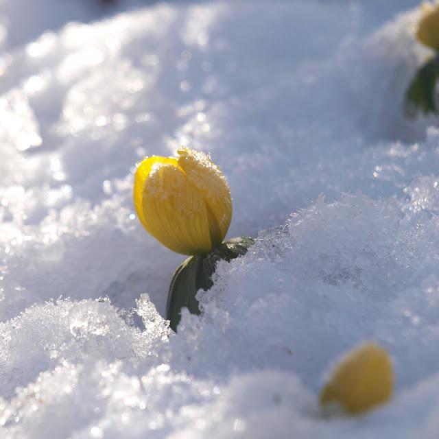 Erantisser varsler forårets kommen