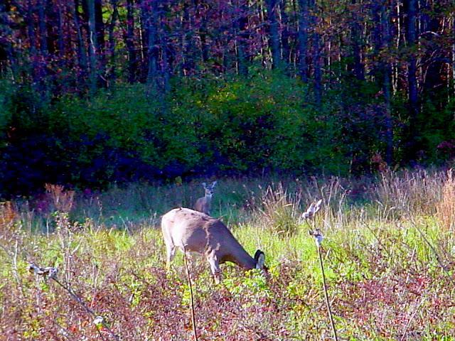 Muscatatuck National Wildlife Refuge - Whitetail Deer