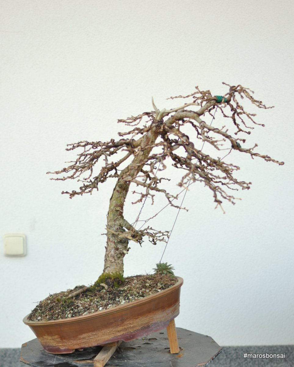Wiring Larch Bonsai Free Diagram For You Juniper Tree Maros Blog Larix Decidua No 1 After Rh Belanmaros Blogspot Com Forest