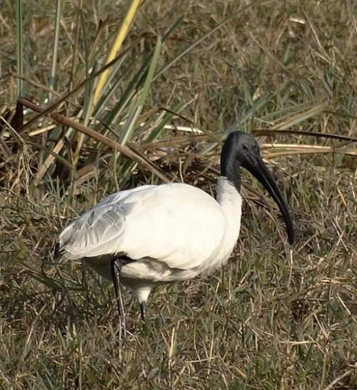 Threskiornis melanocephalus
