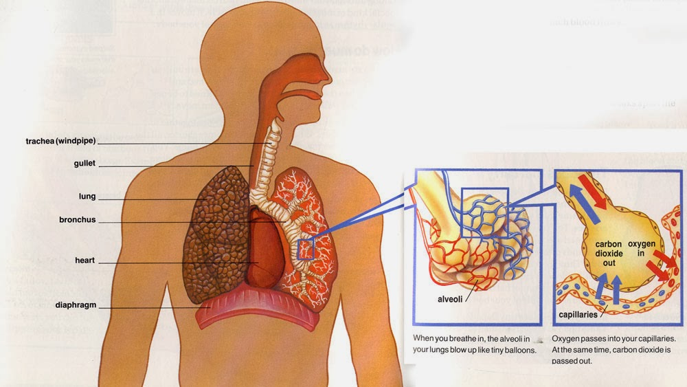 Respiratory System For Kids - How do we breathe? - Ency123
