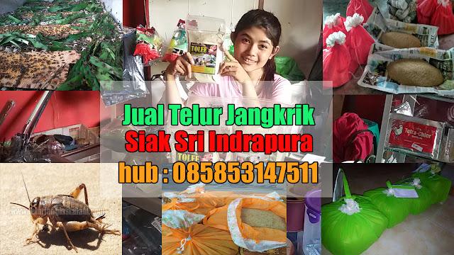 Jual Telur Jangkrik Siak Sri Indrapura Hubungi 085853147511