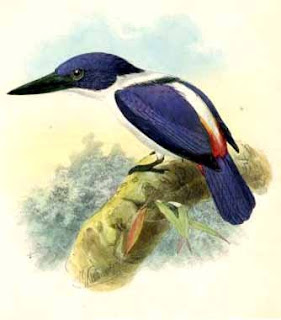 coraciformes alcion ultramar Todiramphus leucopygius