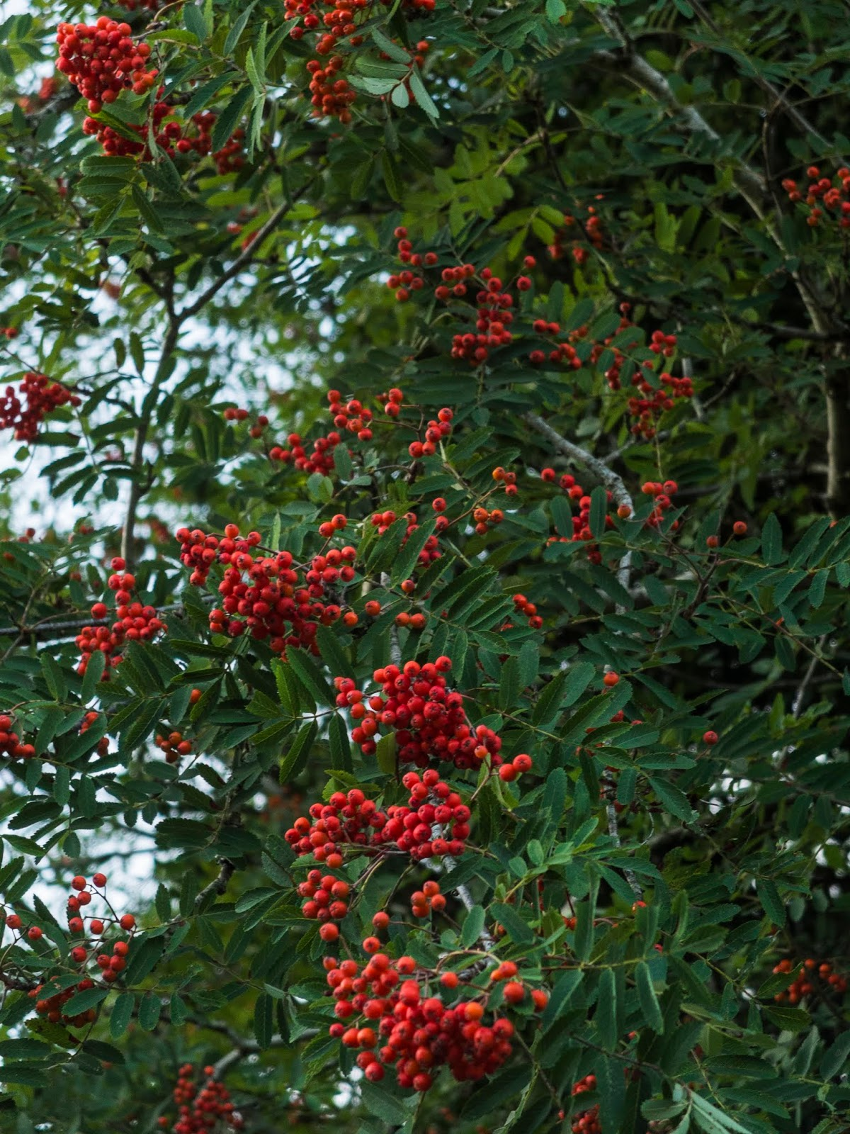 Rowan berries hanging from the tree.