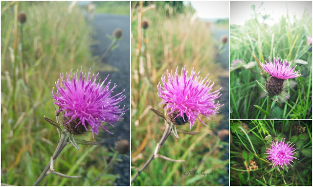 purple flowers, knapweed
